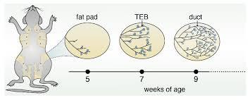 Thumbnail for the post titled: Entschlüsselung der ERBB-Netzwerkdynamik nach Betacellulinsignalisierung beim duktalen Pankreas-Adenokarzinom bei Mäusen.