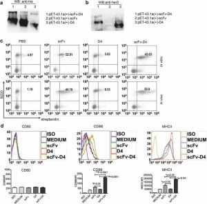 CD19-targeting fusion protein combined with PD1 antibody enhances anti-tumor immunity in mouse models.