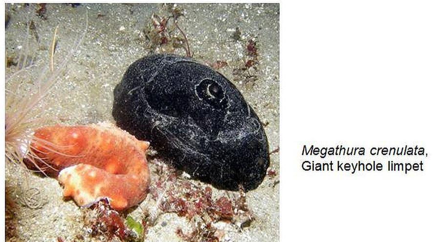 megathura-crenulata